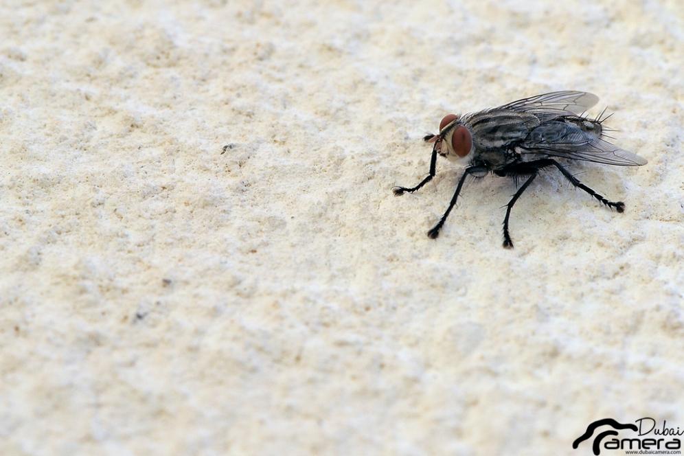 ذبابه
